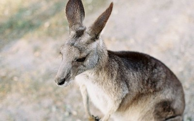 A safe home for native kangaroos and other animals